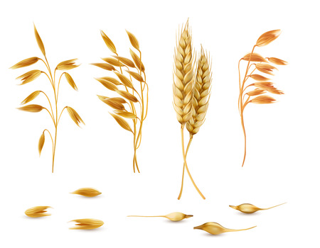 Vector realistic set of cereal plants, oat spikelets, barley ears, wheat or rye with grains isolated on background. Agriculture crop cultivated for healthy food, porridge, flakes, diet brans, muesli Vector Illustration