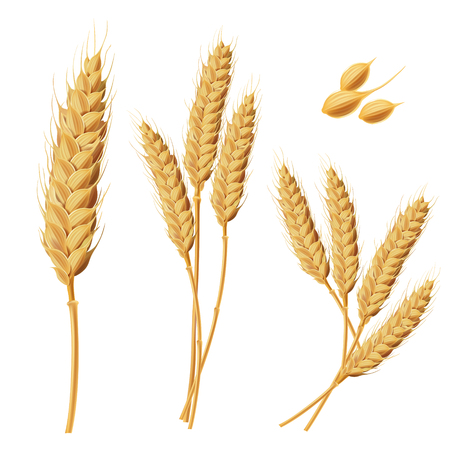 Set of illustrations of wheat spikelets, grains, sheaves of wheat isolated on white background. Template, print, design element. Stock Photo