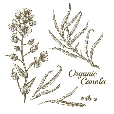 Canola flower, organic colza or rape plant branch with blossoms and seeds. Botanical flora doodle drawing of rapeseed stem with leaves isolated on white background. Hand drawn vector illustration