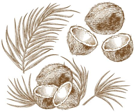 Engraved illustration of coconuts and palm leaves. Vector hand drawn sketch of tropical food and plant in vintage etching style isolated on white background