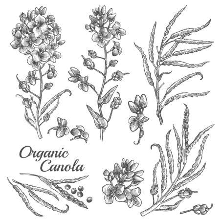 Rapsblüten, Bio-Senf, Schote mit Samen und Blättern. Vektor gravierte botanische Illustration der Rapspflanze. Handgezeichnete Umrissskizze von Brassica napus isoliert auf weißem Hintergrund
