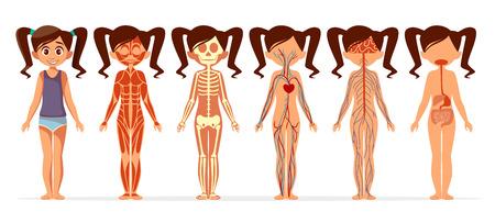 Mädchenkörperanatomie-Vektorillustration. Flaches Design des medizinischen weiblichen menschlichen Körpers der Karikatur des muskulösen, skelettartigen, Blut- und Aderzirkulations- oder Nerven- und Verdauungssystems für infographics