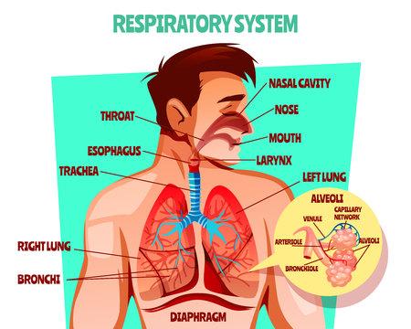 Illustration vectorielle de système respiratoire humain. Conception médicale de dessin animé du corps de l'homme avec poumons, œsophage ou diaphragme respiratoire et trachée ou alvéoles des bronches et réseau capillaire sanguin