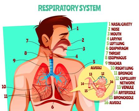 Ilustración de vector de sistema respiratorio humano. Diseño médico de dibujos animados del cuerpo del hombre con pulmones, esófago o diafragma respiratorio y tráquea o alvéolos de los bronquios y red de capilares sanguíneos