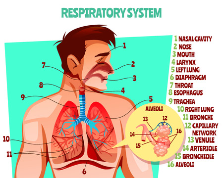 Human respiratory system vector illustration. Cartoon medical design of man body with lungs, esophagus or breath diaphragm and trachea or bronchi alveoli and blood capillary network