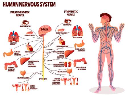 Illustrazione vettoriale del sistema nervoso umano. Disegno del fumetto del corpo dell'uomo con catena di nervi parasimpatici e simpatici del cervello per infografica medica di neurologia