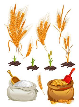 Conjunto de trigo, avena y cebada. Harina de dibujos animados, racimos de trigo y trozos de plantas. Ilustración vectorial
