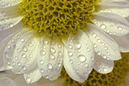 Close-up White Fresh Flower with water drops photo
