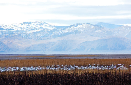 snow goose migration - beautiful mountain landscape photo