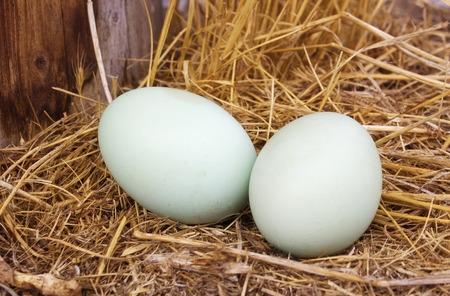 gallina con huevos: par de huevos de gallina Foto de archivo