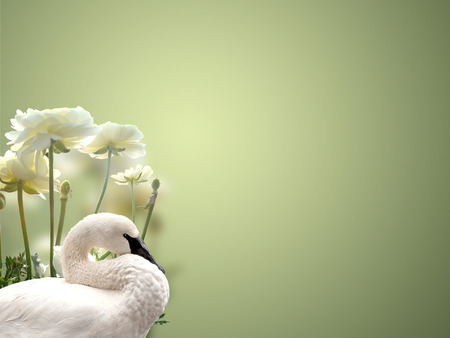 swan and white roses background photo