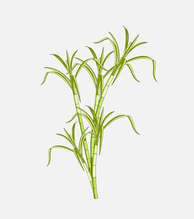 sugarcane: Field Sugarcane Vector