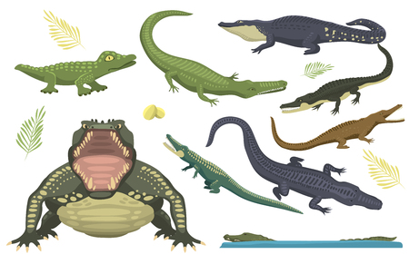 Cartoon green crocodile danger predator and australian wildlife river reptile carnivore alligator with scales teeth flat vector illustration.