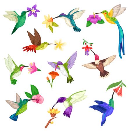 Carattere dell'uccello di colibrì tropicale di vettore di colibrì con bellissime ali di uccellino su fiori esotici in natura insieme dell'illustrazione della fauna selvatica del colibrì di volo nel tropico isolato su priorità bassa bianca.