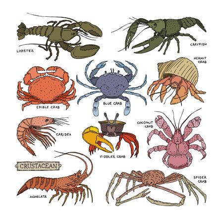 Crustacean set of sea animals shrimp isolated on white background