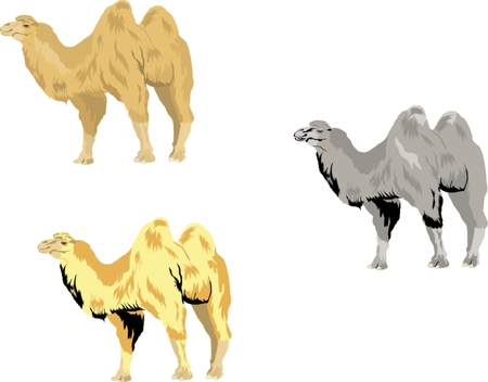 nomad: Camels set Illustration