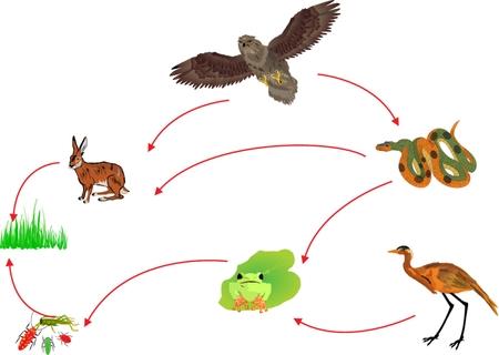 biologia: Círculo biológica de la cadena alimentaria de la naturaleza ilustración