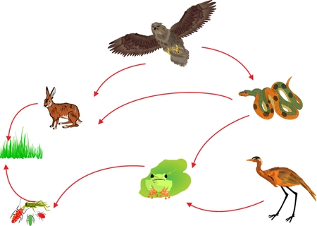 chain food: Food chain biological circle of nature illustration