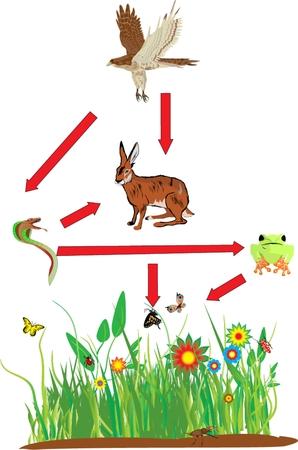 Cadena alimentaria en el campo de los ecosistemas con el halcón en la parte superior de la cadena