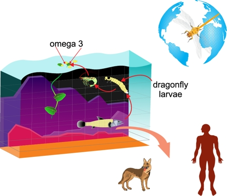 fish pond: Layered vector infographic of pond ecosystem. Diagram dragonfly, fish, pond, man animals all components in circulation of omega3.