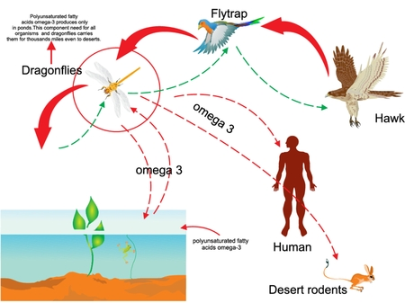 chain food: Omega3 circulation in nature and food chain proccesses in ponds illustration