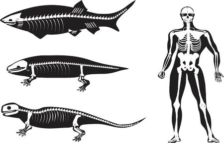evolucion: Evolución ilustración siluetas de animales y el hombre con huesos