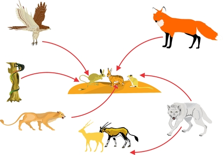 chain food: Food chain in desert ecosystem