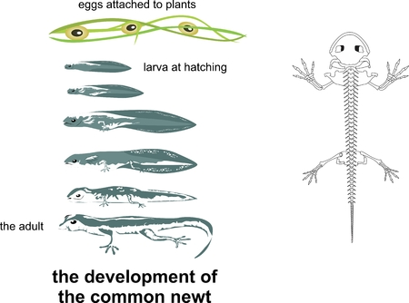 newt: the life cycle of newt, from adult to larva