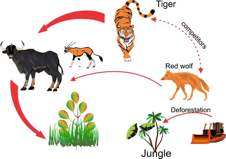 ecosystems: Indian jungle food chain-ecosystem, and mans influense Illustration
