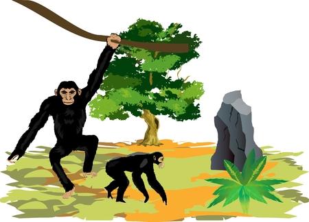 chimpances: Los chimpanc�s simios ilustraci�n vectorial. Escena de la vida silvestre. Vectores