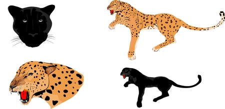 panther: Leopards and panthers isolated on white Illustration