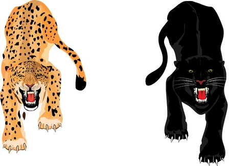 undomesticated: Leopard and Panther isolated on white background, vector illustration. Illustration