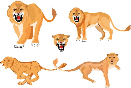 Lions in different poses set, vector illustration isolated on white.