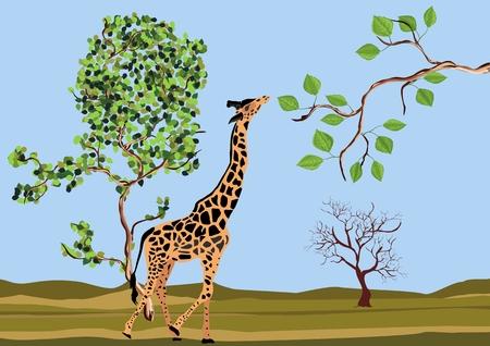 Giraffe eating tree branch