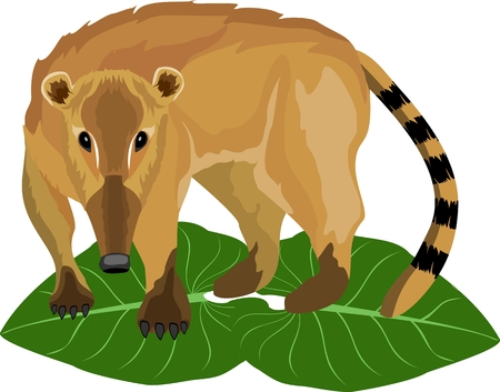 Coati liitle animal of south american jungle, wildlife nature theme, vector. Illustration