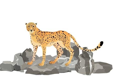 Cheetah on the rocks, isolated on white vector illustration. Illustration