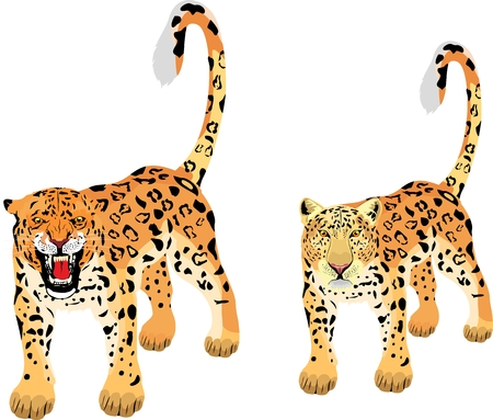 Pair of vector leopards, isolated on white illustration