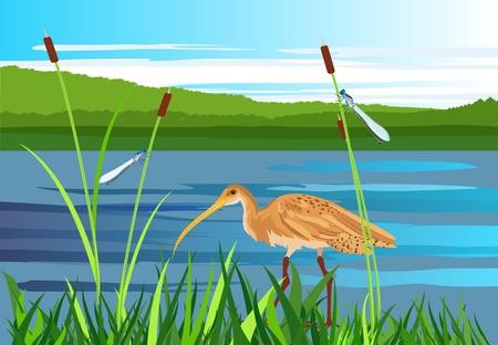 Sandpiper bird, lake, gragonflies, wetland landscape, vector wildlife Illustration
