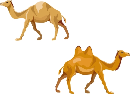 Dromedary and Bactrian camel isolated on white vector illustration