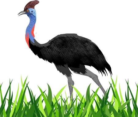 Emu ostrich in the grass, isolated vector illustration, colored deatailed. Illustration