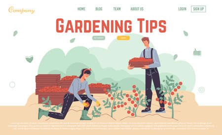 Harvesting gardening tips online service landing page design template. People farmer in overalls picking ripe tomato doing farming job. Planting, growing, transplant sprout, lay vegetable advice