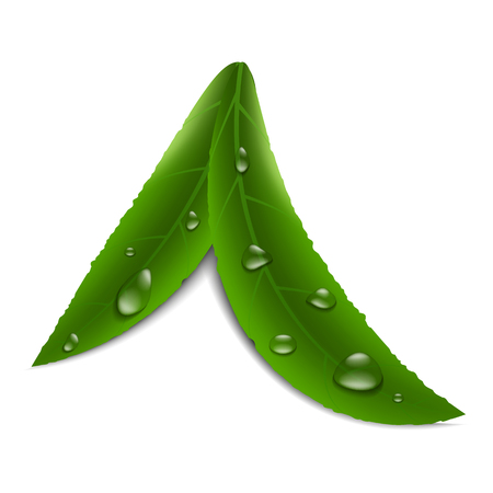 Vector image of realistic, green leafs of fruit tree with droplets of water of various shapes on an isolated white background. Dew on the leaves