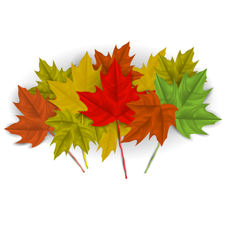 Vector image of realistic, autumn maple leaves on a white background