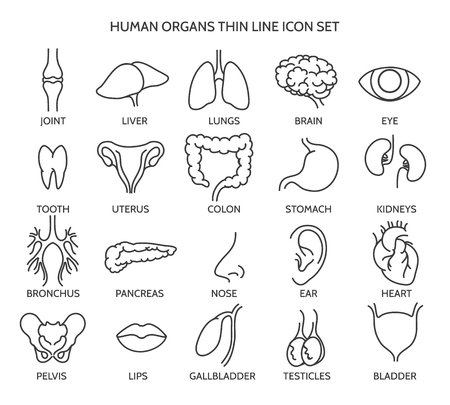 body line: Organ line icons. Human organ signs or human body parts symbols. Tooth and brain line icons, eye and liver symbols. Vector illustration Illustration