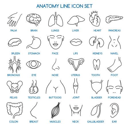 Icone di linea di anatomia. Icone della linea di parti del corpo umano e segni di anatomia umana. Illustrazione vettoriale Archivio Fotografico - 54903111
