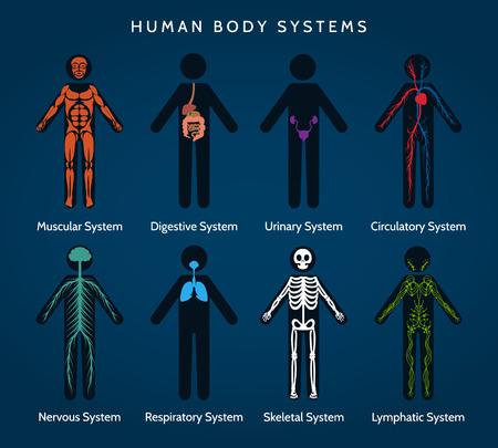 Anatomia del corpo umano. sistemi del corpo. sistemi scheletrico e muscolare, ans nervosi circolatorio, linfatico e digestive. Vector ilustration