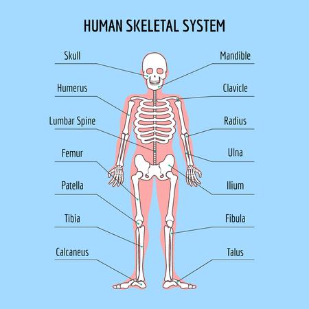 Menschliche Körperteile Skelett Mann Anatomie Vektor-Illustration ...