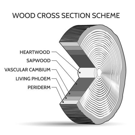duramen: esquema de sección transversal de la madera. Tronco de estructura de árbol de la ilustración vectorial rebanada