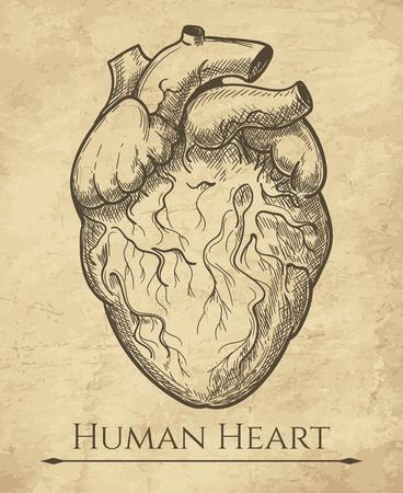 Bosquejo del corazón humano. Dibujo al aguafuerte del órgano anatómico, ilustración vectorial de grabado del músculo cardíaco anatómico retro médico