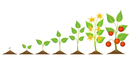 Plántulas de tomate y Vector de crecimiento. Una planta de tomate comestible plantación y crecimiento con flores y cultivos aislados sobre fondo blanco. Ilustración de vector